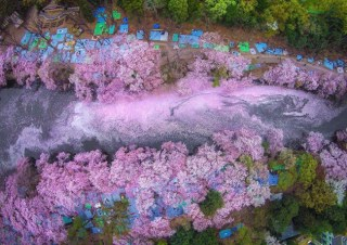 Cherry Blossoms Paint A Lake Purple Making Tokyo Look Like A Fairytale
