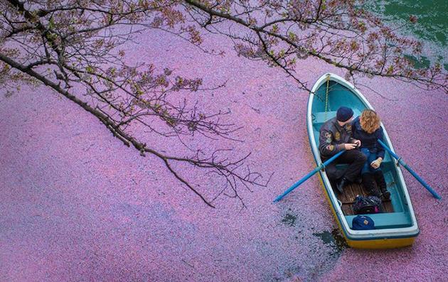 Cherry Blossoms Paint A Lake Purple