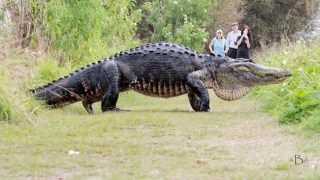 Giant 12-Foot Alligator Casually Crosses Paths with Tourists in Florida