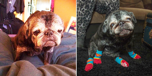 This Pug's Life Totally Changed … When She Started Wearing Socks
