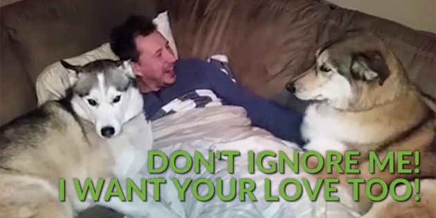 These Adorable Six Huskies Are Guaranteed To Make You Laugh