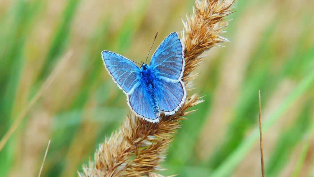 blue butterfly meaning i.e. what does a blue butterfly mean