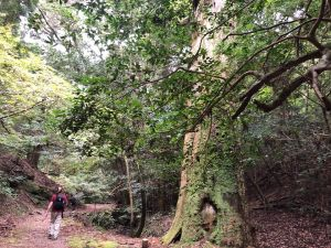 Planning a Forest Bathing session, a male client walks slowly in the medieval forest in Nara, Japan