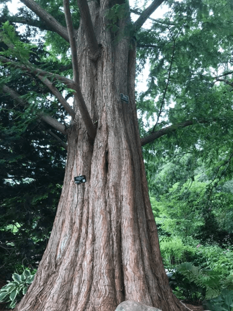 Big tree Forest Bathing Connecticut