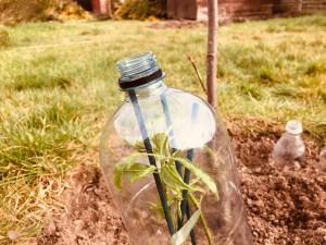 plastic soda bottle as a cloche