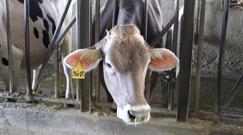 mucca da latte - giansanti di muzio - azienda agricola - the minutes fly - parmigiano reggiano - web magazine