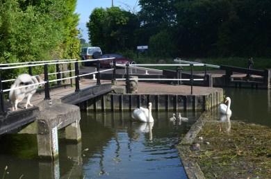 evil hissing swans