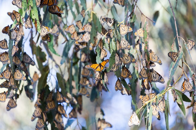 Pismo Beach Monarch Butterflies Grove