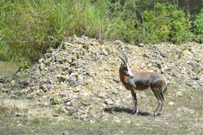Cebu Safari and Adventure Park - Antelope