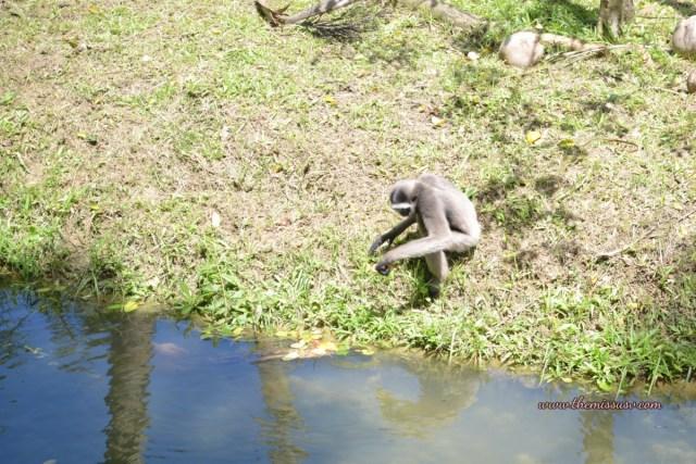 Cebu Safari and Adventure Park - Gibbon