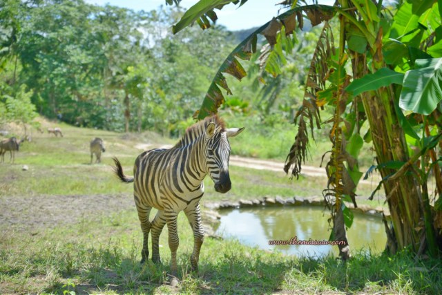 Cebu Safari and Adventure Park - Magnificent Zebra