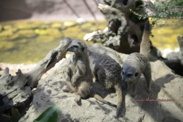 Cebu Safari and Adventure Park - Meerkats