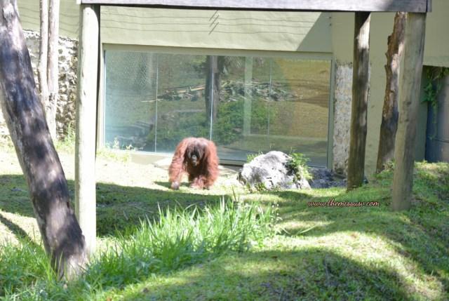 Cebu Safari and Adventure Park - Orangutans