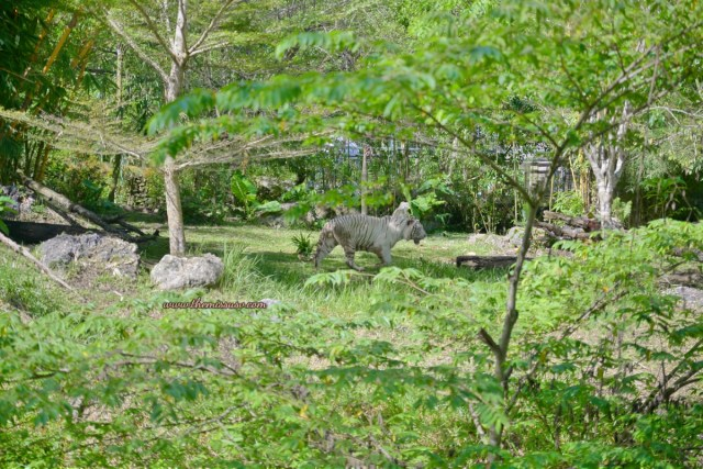 Family Day at the Cebu Safari and Adventure Park - Bengal Tiger