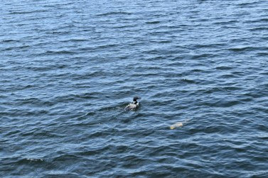 Two Loons fishing...clear water!