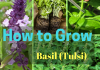 grow basil or ocimum basillicum or tulsi