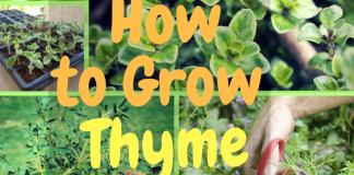grow thyme