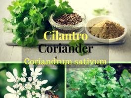 What is Coriander or Cilantro(Coriandrum Sativum)?(Scientific Description)