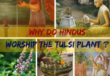 Why do Hindus Worship the Tulsi Plant (Basil or Ocimum Basilicum) ?