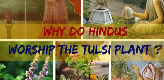 Why do Hindus Worship the Tulsi Plant (Basil or Ocimum Basilicum) ?