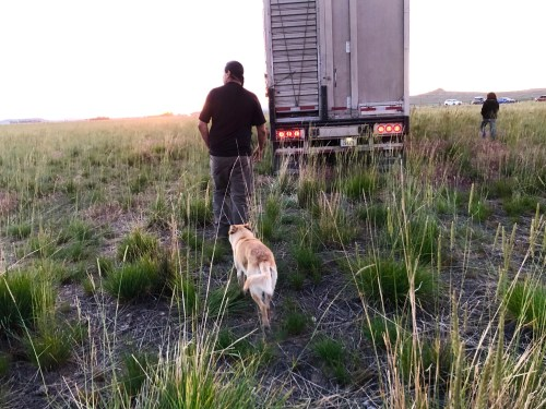 Jason Baldes and his dog Willi prepare for the buffalo to be released