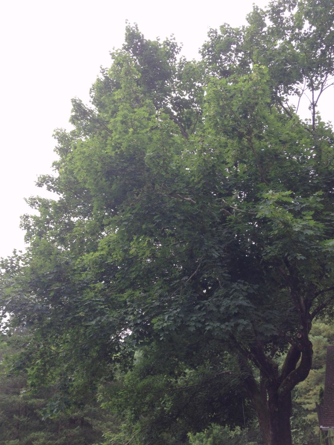 Trees in the Summer