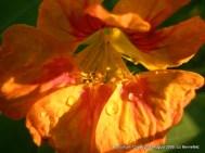Nasturtium flower, used in soup