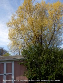 Neighbor's Willow, My Shed & Bushes