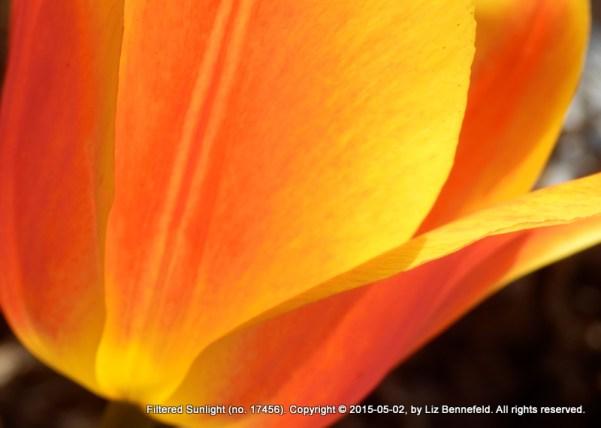 Tulip, North South Sidegarden