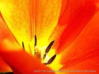 Orange-yellow tulip side glance to inside