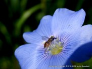 Hoverfly in the midst of the now-dry blue wild flax flower