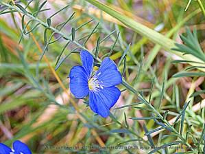 Wild Flax in Blue