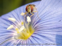 Hoverfly on Wild Flax
