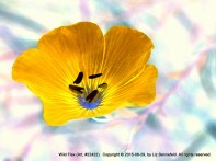 Blue Flax Flower, turned golden