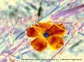 Blue Wild Flax, no. 23182