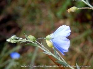 Blue Wild Flax Flower