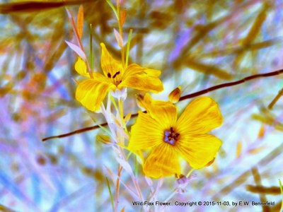 wild flax flower, yellows and blues