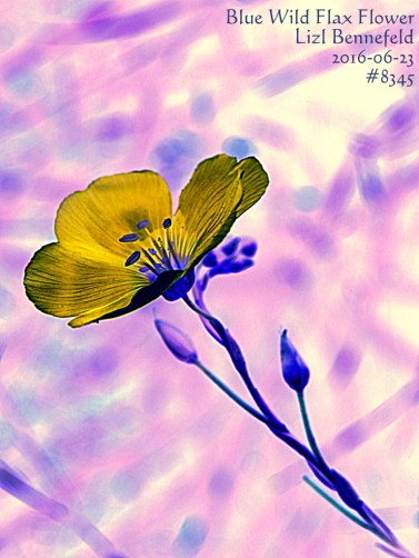 Blue Wild Flax Flower (Art) #8345