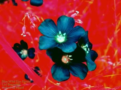 false colors, blue wild flax