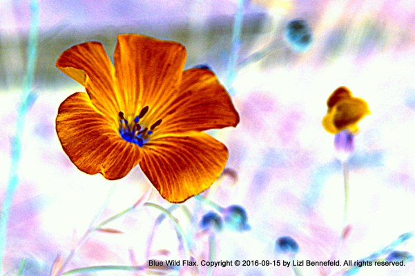 Photoart - Blue Wild Flax Flower