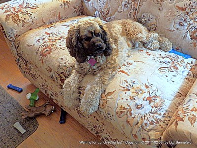 cocker spaniel on love seat, waiting for lunch