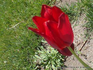 Tulips in the Sunlight