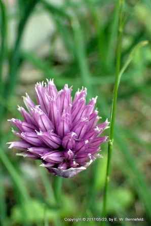 Chive Flower no. 23