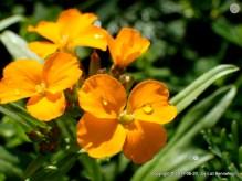 dew on flowers (wallflowers?)