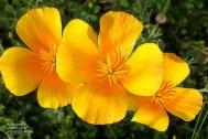 Three yellow poppies