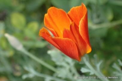 California Poppy, red to yellow, opening