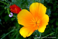 California poppies, closed/open, yellow/red