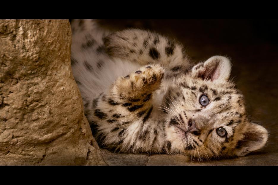 Born in China Snow Leopard