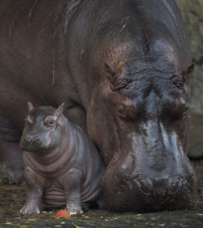 Disney's Animal Kingdom Baby Hippo, Augustus