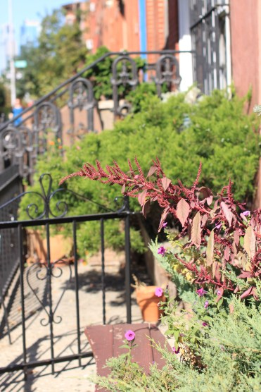 Late Summer Blooming Amaranth